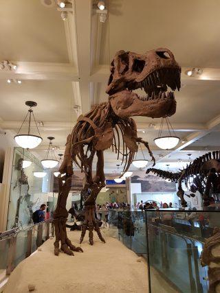 Scheletro di Trex presente nel Museo di Storia Naturale di NY.