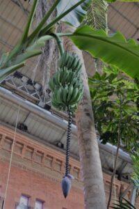 Una casco di banane nel giardino tropicale della stazione di Atocha