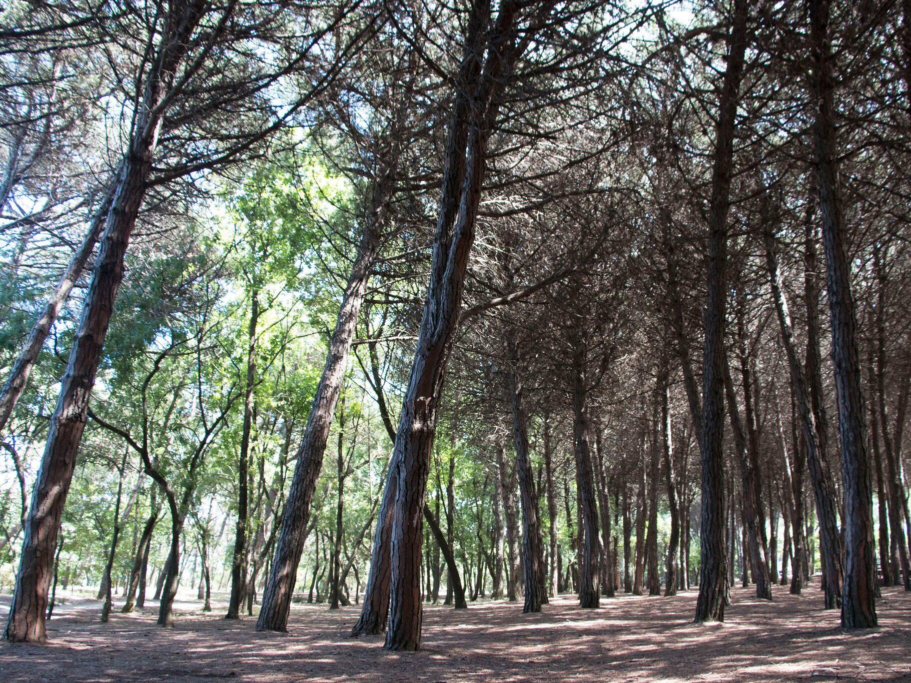 La pineta di Pinarella di Cervia, vicino a Milano Marittima