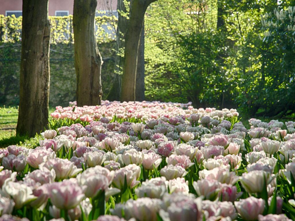 La fioritura dei tulipani del parco giardino di sigurtà